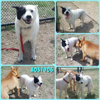 Mix-Bred AUSTRALIAN CATTLE DOG Male  Older  Dog #A037906#  Animal Care Services (San Antonio) - click here to view larger pic