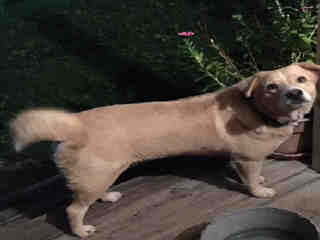 Mix-Bred LABRADOR RETRIEVER Female  Adult  Dog #A161555#  - click here to view larger pic