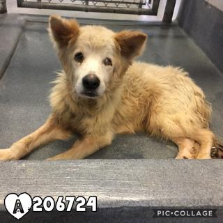 Mix-Bred COLLIE - ROUGH Male  Adult  Dog #A206724#  Animal Care Services (San Antonio) - click here to view larger pic