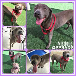 Mix-Bred WEIMARANER Female  Adult  Dog #A223692#  Animal Care Services (San Antonio) - click here to view larger pic