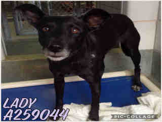 Mix-Bred LABRADOR RETRIEVER Female  Adult  Dog #A259044#  Animal Care Services (San Antonio) - click here to view larger pic