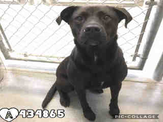 Mix-Bred AMERICAN STAFFORDSHIRE TERRIER Female  Adult  Dog #A274790#  Animal Care Services (San Antonio) - click here to view larger pic