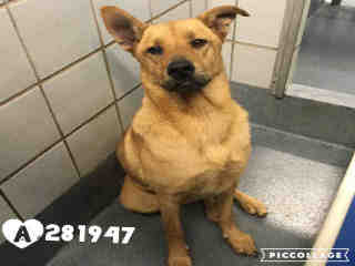 Mix-Bred CHOW CHOW Male  Adult  Dog #A281947#  - click here to view larger pic