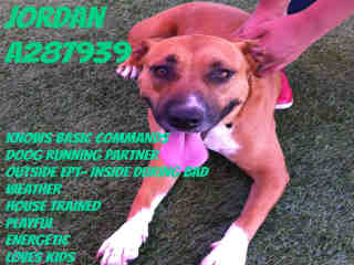 Mix-Bred BLACK MOUTH CUR Male  Adult  Dog #A287939#  Animal Care Services (San Antonio) - click here to view larger pic