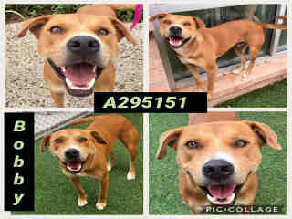 SHEPHERD Male  Adult  Dog #A295151#  Animal Care Services (San Antonio) - click here to view larger pic