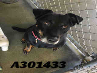Mix-Bred RAT TERRIER Female  Adult  Dog #A301433#  Animal Care Services (San Antonio) - click here to view larger pic