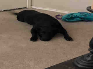 Mix-Bred LABRADOR RETRIEVER Female  Adult  Dog #A302743#  Animal Care Services (San Antonio) - click here to view larger pic