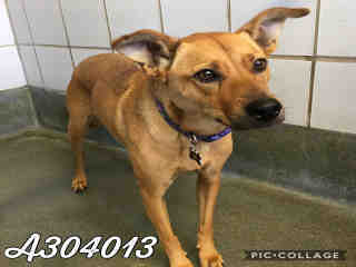 Mix-Bred BORDER TERRIER Female  Adult  Dog #A304013#  Animal Care Services (San Antonio) - click here to view larger pic