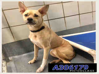 TERRIER Male  Adult  Dog #A306179#  Animal Care Services (San Antonio) - click here to view larger pic