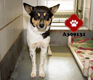 Mix-Bred AUSTRALIAN CATTLE DOG Female  Adult  Dog #A309131#  - click here to view larger pic