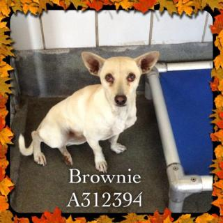 Mix-Bred DACHSHUND Female  Adult  Dog #A312394#  Animal Care Services (San Antonio) - click here to view larger pic