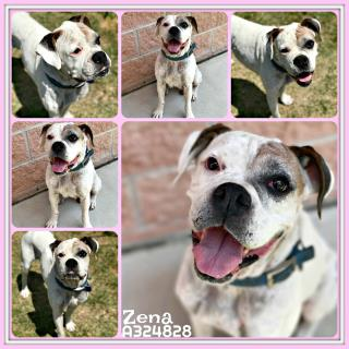 BOXER Female  Adult  Dog #A324828#  Animal Care Services (San Antonio) - click here to view larger pic
