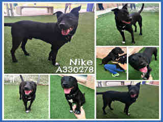 LABRADOR RETRIEVER Male  Adult  Dog #A330278#  Animal Care Services (San Antonio) - click here to view larger pic