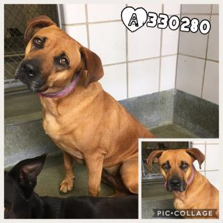 LABRADOR RETRIEVER Female  Adult  Dog #A330280#  Animal Care Services (San Antonio) - click here to view larger pic