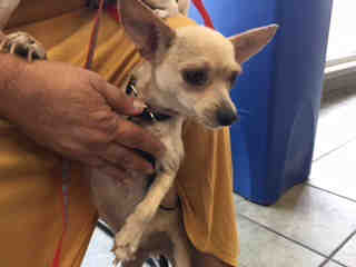 CHIHUAHUA - SMOOTH COATED Male  Adult  Dog #A335899#  Animal Care Services (San Antonio) - click here to view larger pic