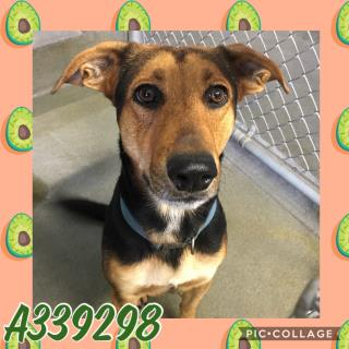 Mix-Bred GERMAN SHEPHERD DOG Male  Adult  Dog #A339298#  Animal Care Services (San Antonio) - click here to view larger pic