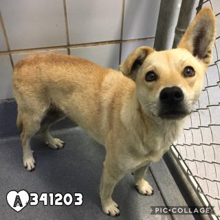 Mix-Bred GERMAN SHEPHERD DOG Male  Adult  Dog #A341203#  Animal Care Services (San Antonio) - click here to view larger pic