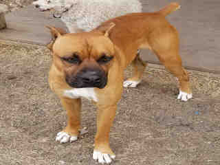 <u> Mix-Bred BOXER Male  Adult  Dog  (Secondary Breed: PIT BULL TERRIER)</u>