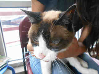 SNOWSHOE Female  Older  Cat #A348574#  Animal Care Services (San Antonio) - click here to view larger pic