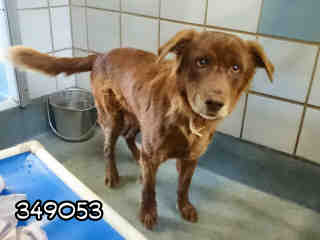 Mix-Bred LABRADOR RETRIEVER Male  Adult  Dog #A349053#  Animal Care Services (San Antonio) - click here to view larger pic