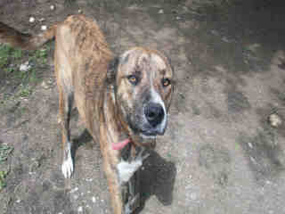 Mix-Bred PLOTT HOUND Female  Adult  Dog #A350018#  Animal Care Services (San Antonio) - click here to view larger pic