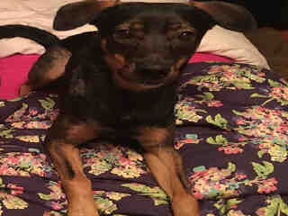 Mix-Bred MINIATURE PINSCHER Male  Dog #A352364#  Animal Care Services (San Antonio) - click here to view larger pic