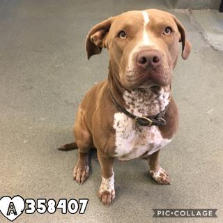 Mix-Bred AMERICAN STAFFORDSHIRE TERRIER Female  Adult  Dog #A358407#  Animal Care Services (San Antonio) - click here to view larger pic