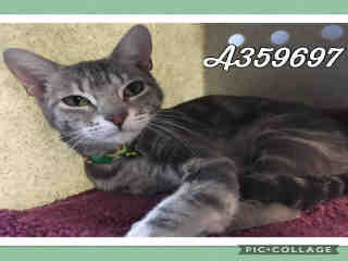 Mix-Bred DOMESTIC SHORTHAIR Female  Adult  Cat #A359697#  Animal Care Services (San Antonio) - click here to view larger pic