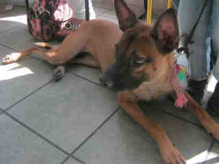 Mix-Bred SHEPHERD Female  Adult  Dog #A360692#  Animal Care Services (San Antonio) - click here to view larger pic