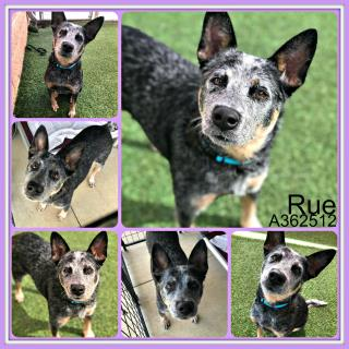 <u>AUSTRALIAN CATTLE DOG Female  Adult  Dog </u>