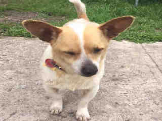 CHIHUAHUA - SMOOTH COATED Male  Adult  Dog #A366002#  Animal Care Services (San Antonio) - click here to view larger pic