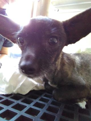CHIHUAHUA - SMOOTH COATED Female  Adult  Dog #A377890#  Animal Care Services (San Antonio) - click here to view larger pic