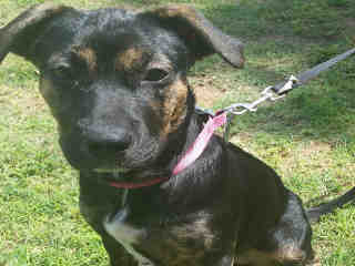 Mix-Bred SHEPHERD Female  Young  Puppy #A377967#  - click here to view larger pic