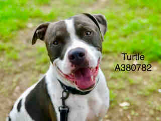 AMERICAN STAFFORDSHIRE TERRIER Male  Adult  Dog #A380782#  Animal Care Services (San Antonio) - click here to view larger pic