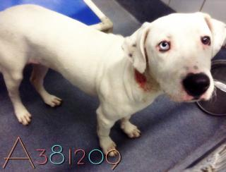 Mix-Bred LABRADOR RETRIEVER Female  Adult  Dog #A381209#  Animal Care Services (San Antonio) - click here to view larger pic