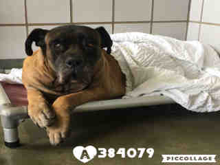 Mix-Bred MASTIFF Female  Adult  Dog #A384079#  - click here to view larger pic