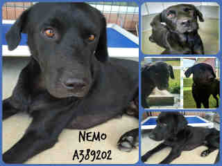 Mix-Bred LABRADOR RETRIEVER Male  Adult  Dog #A389202#  - click here to view larger pic