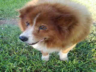 Mix-Bred CHOW CHOW Male  Older  Dog #A390526#  - click here to view larger pic