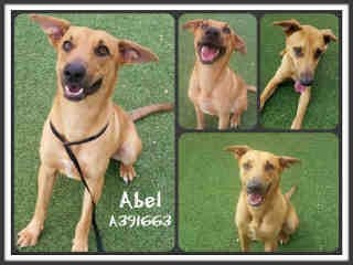 Mix-Bred SHEPHERD Male  Young  Puppy #A391663#  - click here to view larger pic