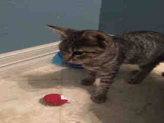 Mix-Bred DOMESTIC SHORTHAIR Male  Young  Kitten #A391989#  - click here to view larger pic