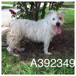 TERRIER Male  Adult  Dog #A392349#  - click here to view larger pic