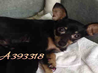 Mix-Bred CHIHUAHUA - SMOOTH COATED Female  Adult  Dog #A393318#  - click here to view larger pic