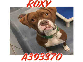 <u> Mix-Bred BOXER Female  Adult  Dog  (Secondary Breed: PIT BULL TERRIER)</u>