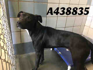 Mix-Bred LABRADOR RETRIEVER Male  Young  Puppy #A393467#  Animal Care Services (San Antonio) - click here to view larger pic