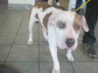Mix-Bred AMERICAN STAFFORDSHIRE TERRIER Male  Adult  Dog #A393997#  - click here to view larger pic