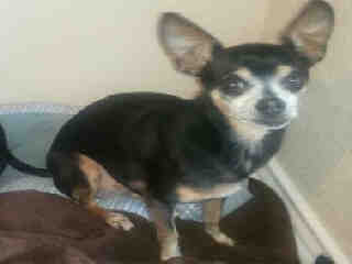 CHIHUAHUA - SMOOTH COATED Male  Adult  Dog #A394387#  - click here to view larger pic