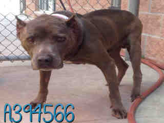 STAFFORDSHIRE BULL TERRIER Male  Adult  Dog #A394566#  - click here to view larger pic