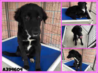 BORDER COLLIE Female  Young  Puppy #A394604#  - click here to view larger pic