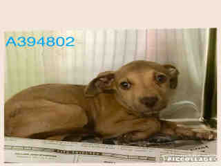Mix-Bred AMERICAN STAFFORDSHIRE TERRIER Male  Young  Puppy #A394802#  - click here to view larger pic
