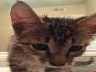 Mix-Bred DOMESTIC SHORTHAIR Young  Kitten #A395682#  - click here to view larger pic